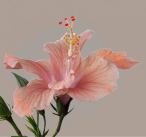 hibiscus squared banner