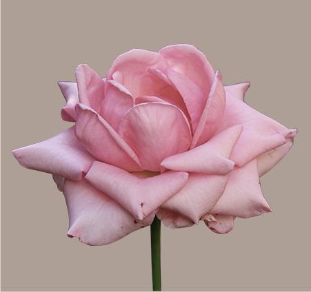 pink rose squared banner