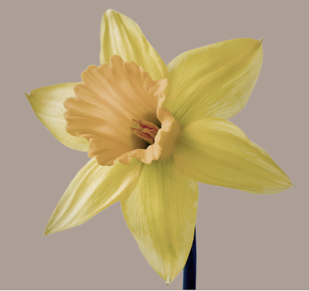 narcissus squared banner